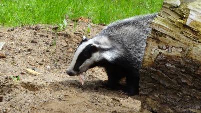 badger-44195_1920
