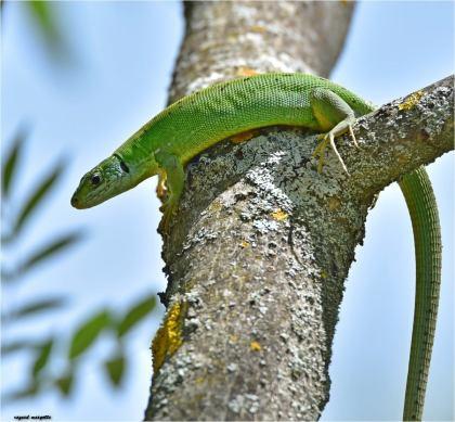 lezard-vert-femelle