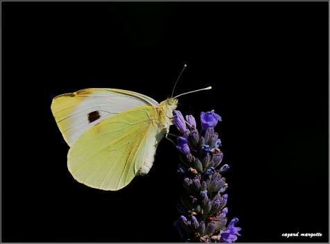 pieride-du-chou-pieris-brassicae-lepidoptere-pieridae